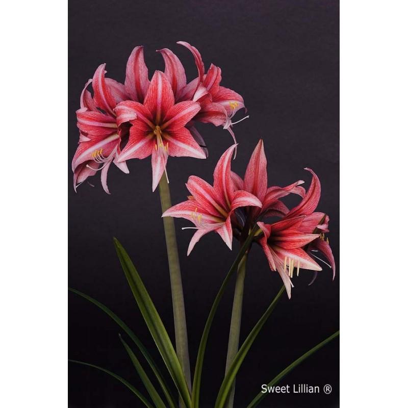Pink Amaryllis Flower Sweet Lillian Amaranth Amaryllis