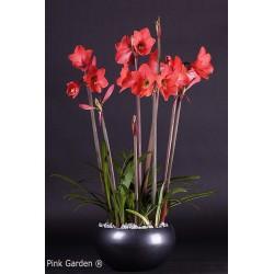 Pink Garden®
