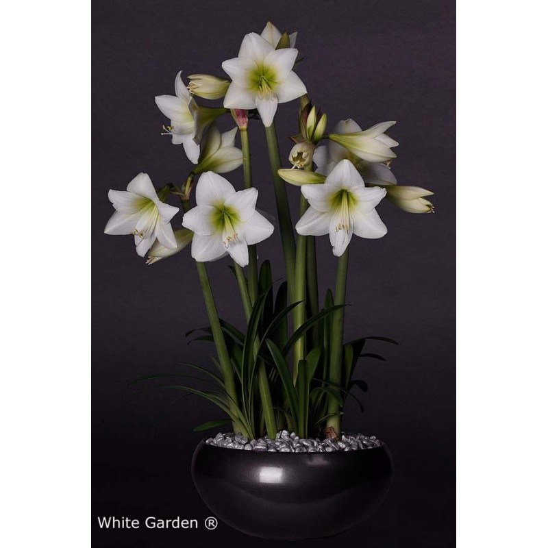 White Garden Is A Special Amaryllis Multiflora You Will Have Multitude Of Flowers To Enjoy With Because The Cer
