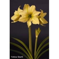 Yellow Star®