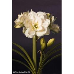 White Amadeus®