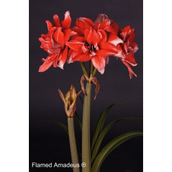 Flamed Amadeus®