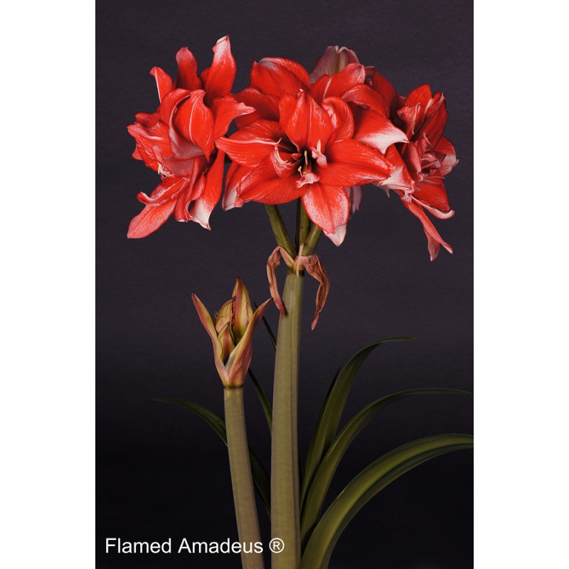Amaryllis Flamed Amadeus® | Order a red amaryllis online