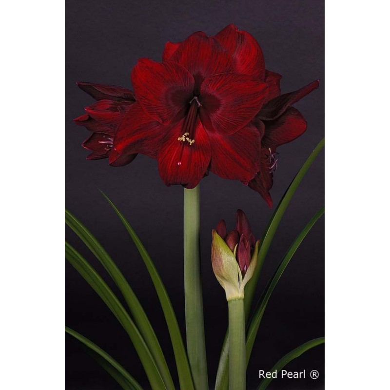 amaryllis online bestellen de dieprode amaryllis red pearl. Black Bedroom Furniture Sets. Home Design Ideas