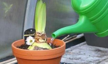 water-geven-oppotten-amaryllis